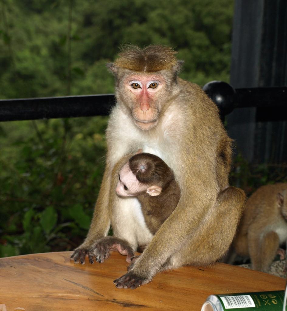 breakpointtravelguides-sri-lanka-heritance-kandalama-hotel-monkeys-kathy-london
