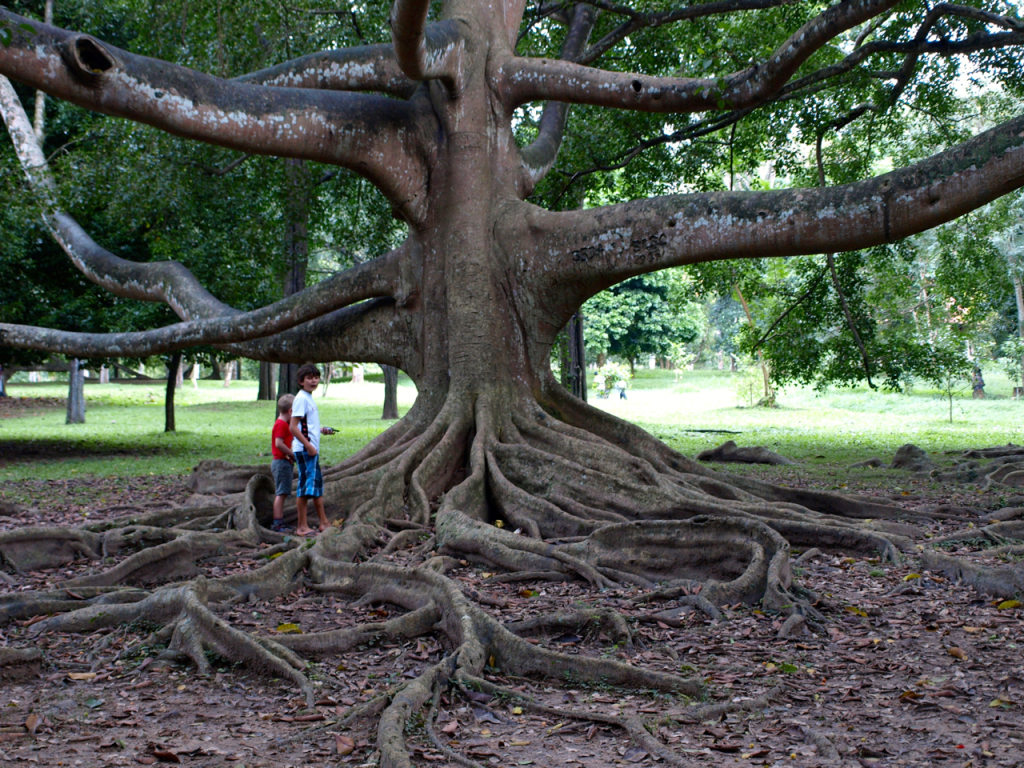breakpointtravelguides-sri-lanka-Kandy-botanic-garden-tree-roots-kathy-london